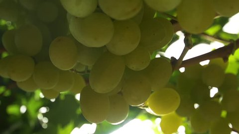European winemaking regions. Environmentally friendly grapes. Slow motion , dolly shot