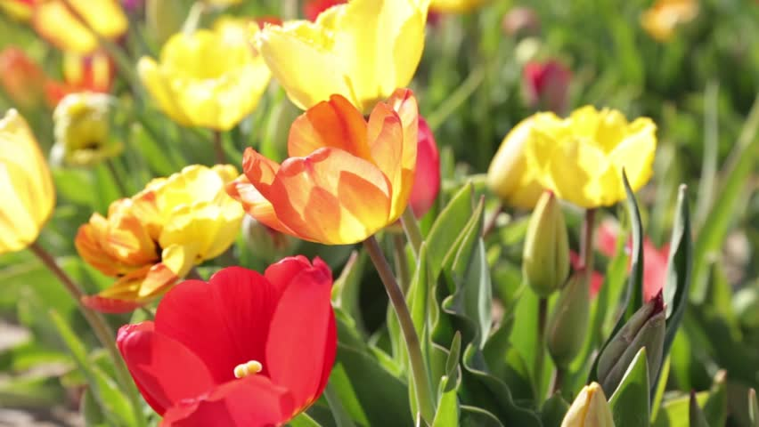Close up of yellow and red tulips flowers bulbs,  Closeup planting tulips flowers bulbs blossoming, Spring flowers sunlight garden background. Tulips flowers growing at field Full HD, 1080p