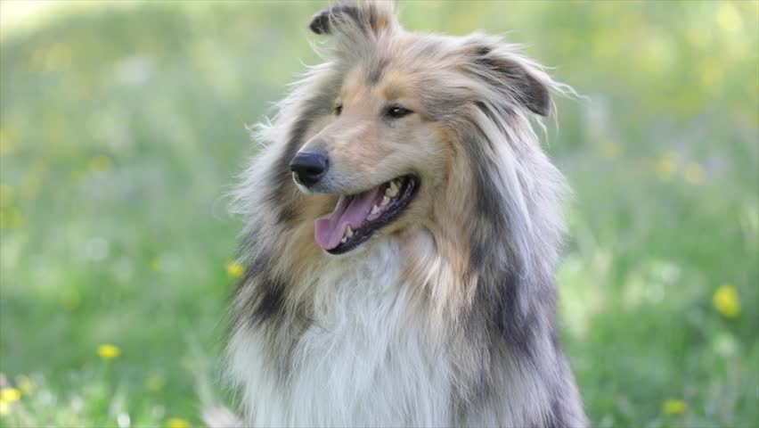 Collie dog outdoor in the nature, close up  #25971125
