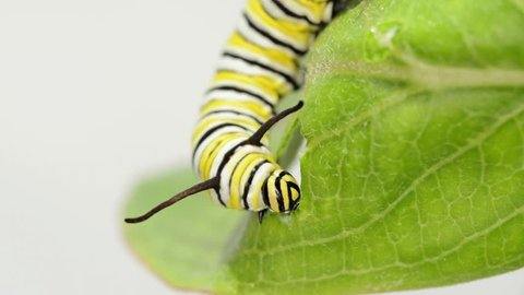 Eight days old Monarch caterpillar eating milkweed, front view close up