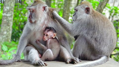 Group of crab-eating macaques (Macaca fascicularis). Adult monkey grooms female holding baby sticking to her chest. Social grooming between animals concept. Bali, Indonesia. Camera stays still.
