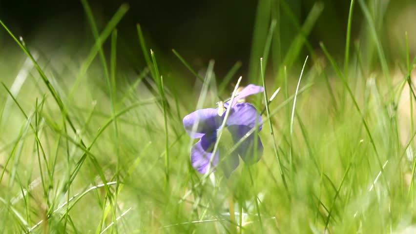 purple viola in the grass in spring season 4k stock video clip