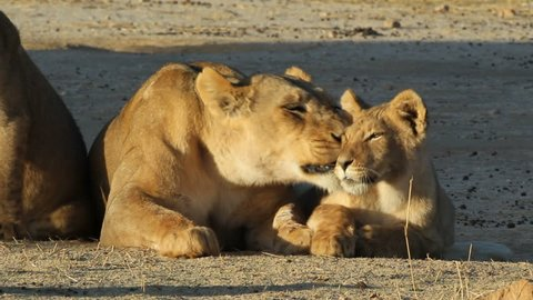 Lioness (Panthera leo)  with young lion cub in early morning light, Kalahari desert, South Africa