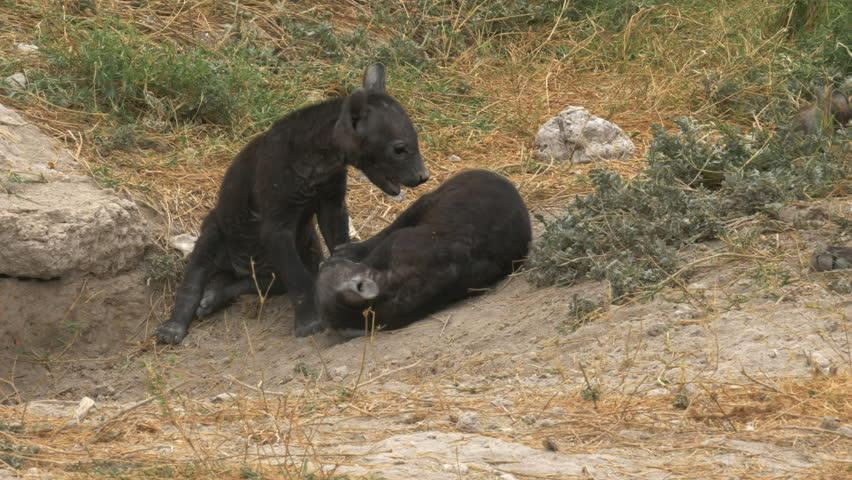 tracking shot of hyena cubs play fighting in amboseli national park, kenya