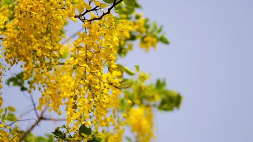 Thailand's national flower Cassia fistula (Golden shower) or scientific name is Cassia fistula.