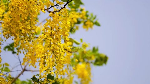 Thailand's national flower Cassia fistula (Golden shower) or scientific name is Cassia fistula.