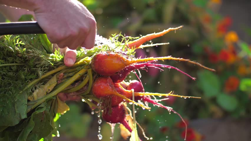 Harvest in organic garden. Farmer washing bunch of fresh organic colorful beets, carrots vegetables with water, closeup. Slow motion. | Shutterstock HD Video #26226665