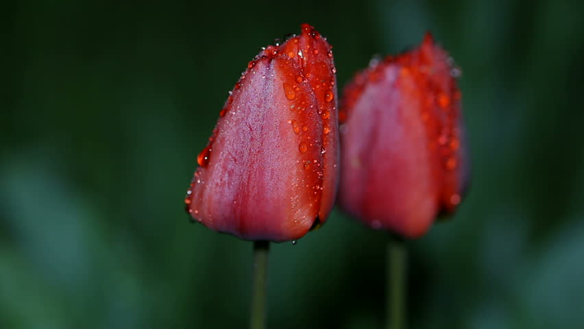 Red tulip flower in drops of night dew, swaying in the wind, looping