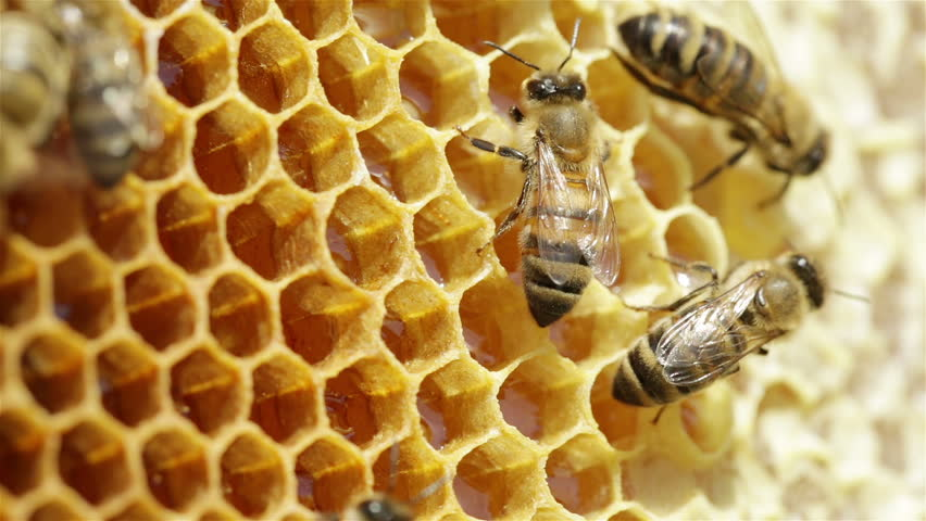 Close-up view of bees on honeycomb