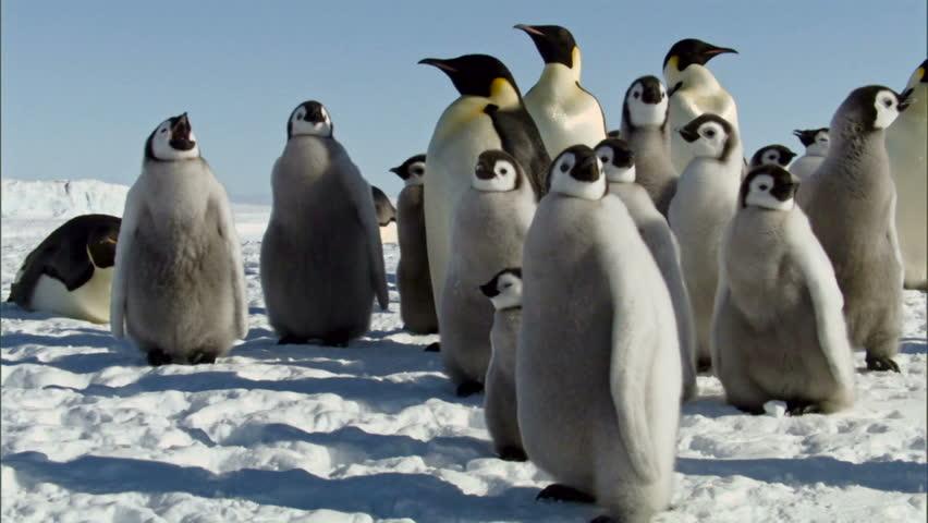 Colony of emperor penguins standing in snow / Antarctica