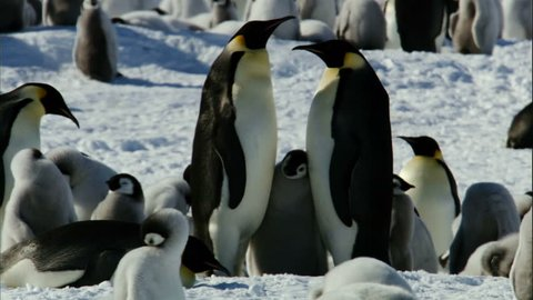 MS Two emperor penguins (Aptenodytes forsteri) standing with chicks / Antarctica