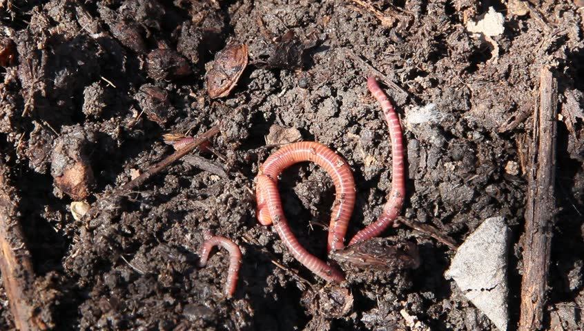 Close-up of worms moving over dirt | Shutterstock HD Video #26414675