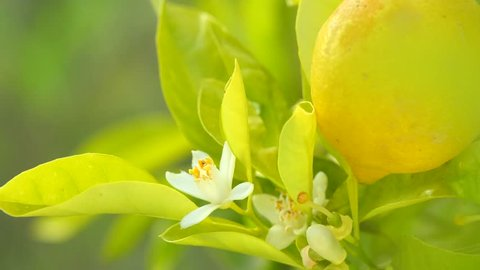 Citrus lemon fruits ands flowers hanging on a tree. Lemon tree blossom Beautiful Healthy organic juicy lemons growing in Sunny Orchard. 4K UHD video 3840X2160