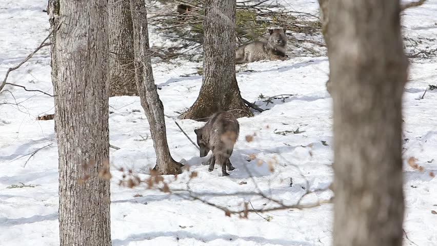 black wolf walking through forest winter