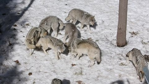 wolves being fed from above