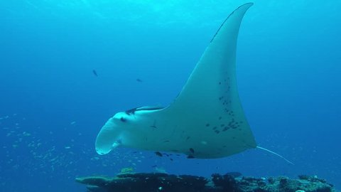 Manta Ray swimming on a cleaning station to get rid of parasites by cleaner wrasses.