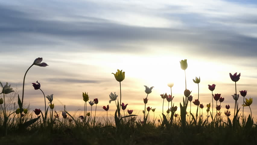 Wild tulips in a meadow on background sky. Sunrise. The steppe comes to life in the spring.