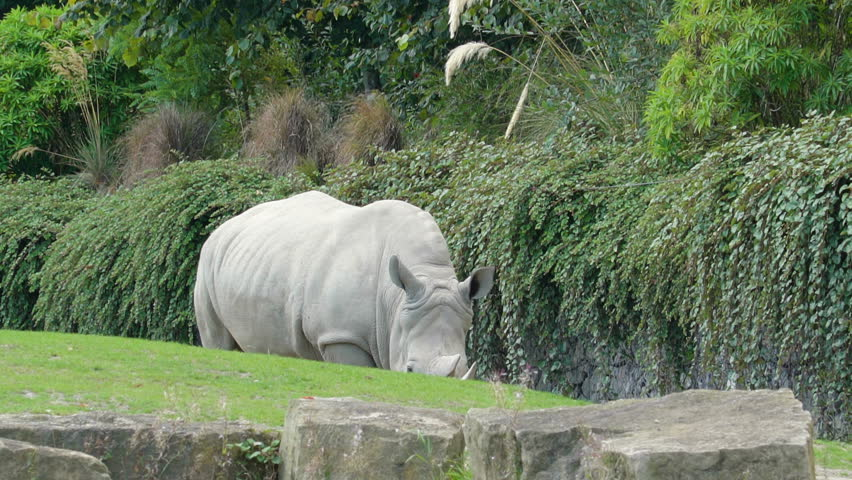 Side view of the white rhinoceros in the zoo. The white rhinoceros or square-lipped rhinoceros is the largest extant species of rhinoceros.