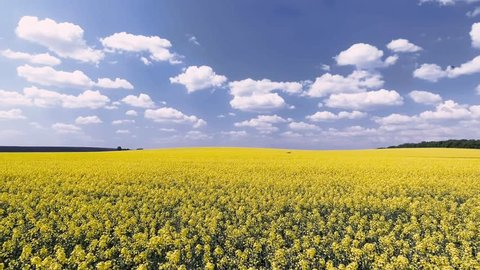 Agricultural field with blooming yellow rape, against the blue sky. Aerial view 4K