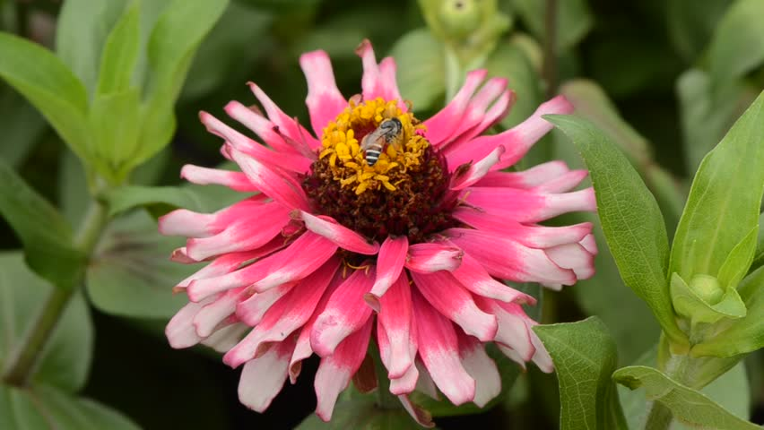 bees suck nectar from manipulating interest. Zinnia.