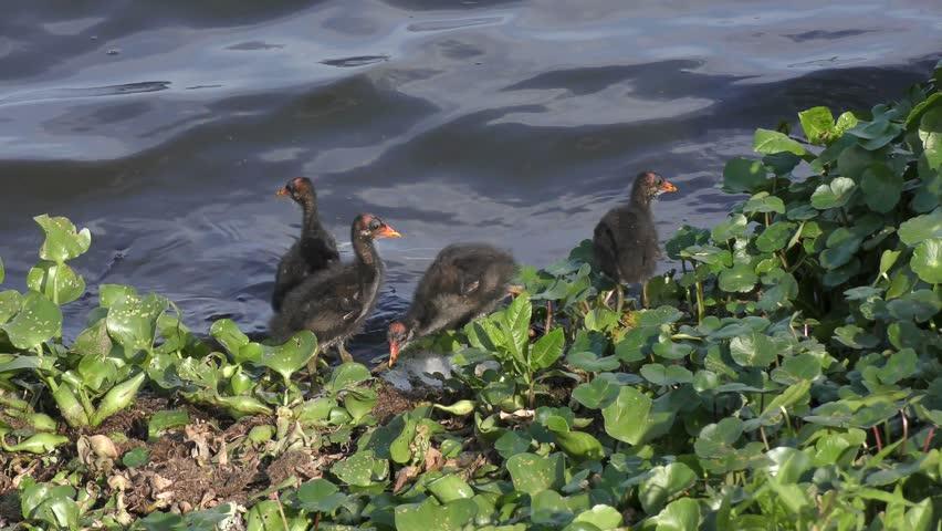 Common Gallinule chicks near lake #26656555