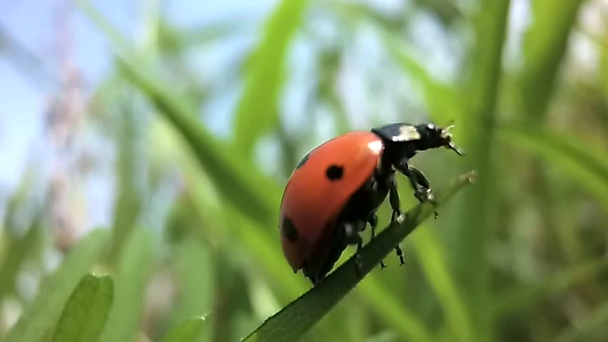 Ladybird spread its wings before takeoff with a blade of grass in slow motion