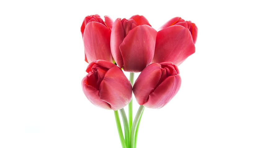 Timelapse of a bunch of red tulip flowers blooming on white background