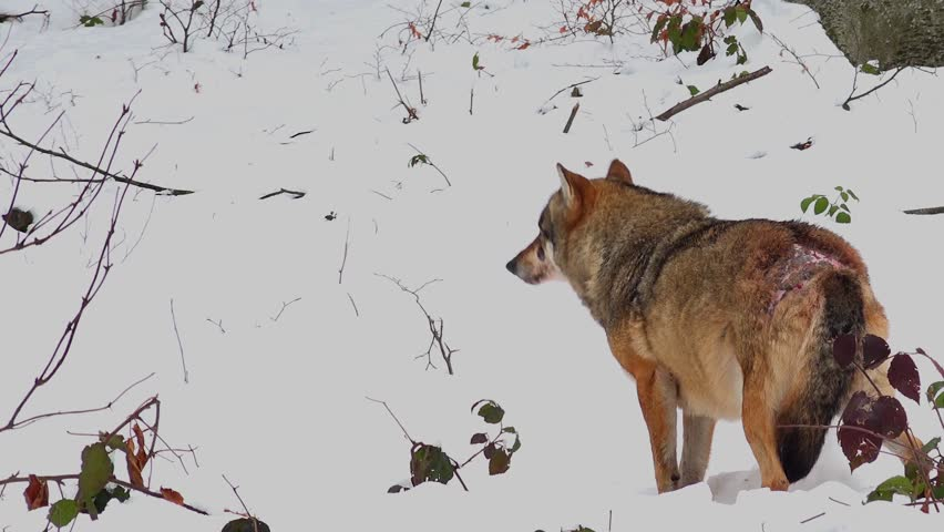 4K footage of a Gray (or Grey) Wolf (Canis lupus) in the Bayerischer Wald National Park in Bavaria, Germany
