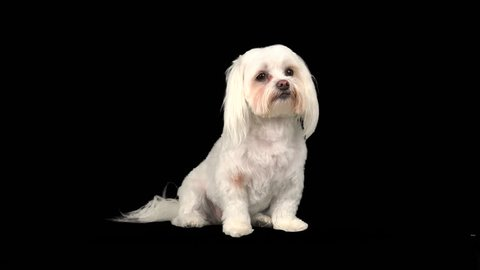 Cute, adorable, little Maltese dog raises head, howls, with sound. 4K UHD 3840x2160