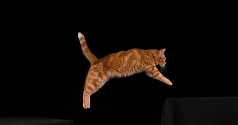Red Tabby Domestic Cat, Adult Leaping against Black Background, Slow motion 4K
