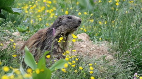 Alpine marmot near their burrow in late spring, during the molting fur, launches repeated alarm whistle.
