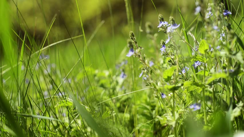 Close up blue flowers and out of focus green background. Veronica chamaedrys. Veronica Persica Flowers, Macro, Lawn