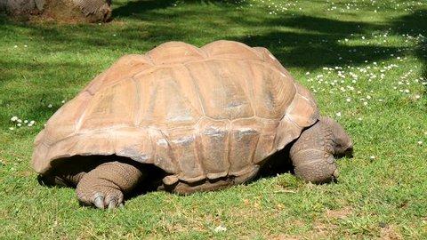Giant turtle eating grass, Tortoise Aldabra giant.