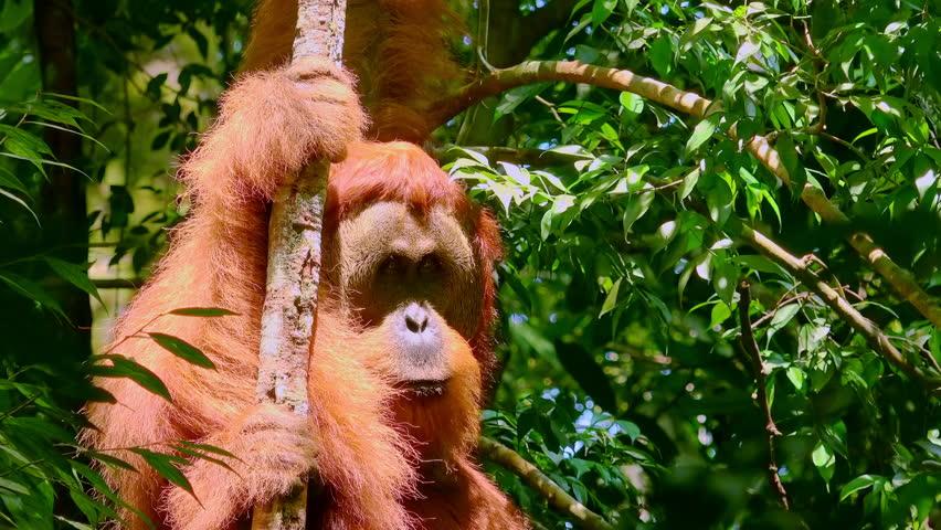 Orangutan Male In Tropical Rainforest Relaxing On Tree Animals Wild Sumatra Indonesia