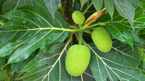Breadfruit tree with growing ripe fetus. Closeup