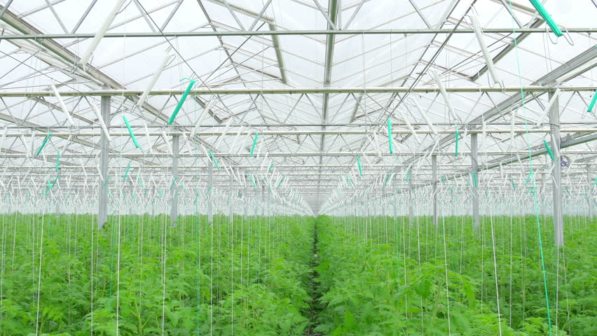 Rows of tomato hydroponic plants in greenhouse   | Shutterstock HD Video #26999845