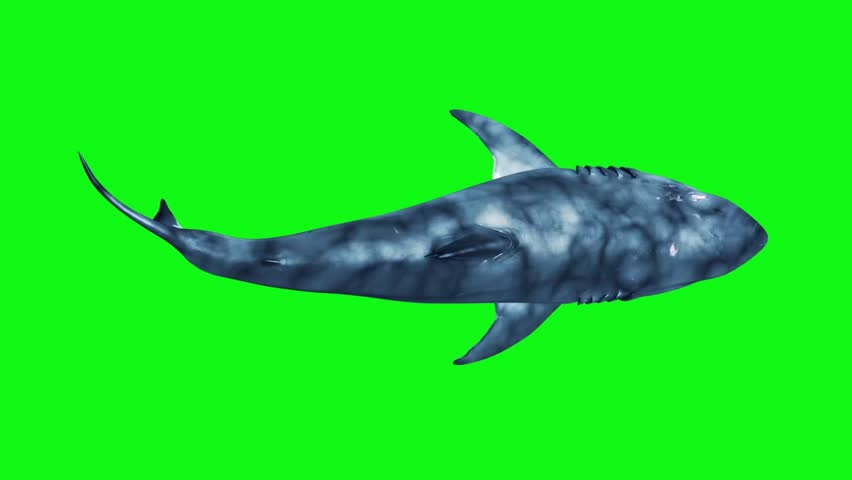 White Shark Swim Fast Loop Top Green Screen 3D Rendering Animation