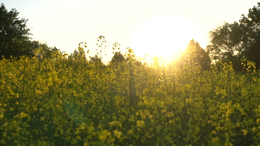 Flowering rapeseed field in the spring at sunset. Slow motion