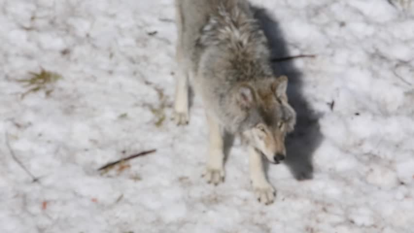 grey wolf gets spooked