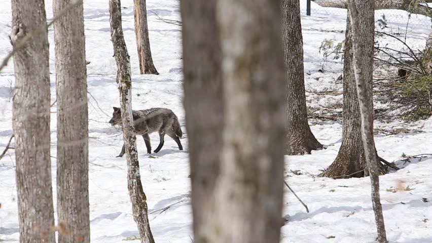 black wolf trots through winter