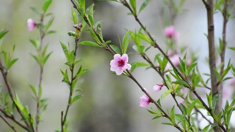 Blooming peach tree spring. Weather anomaly