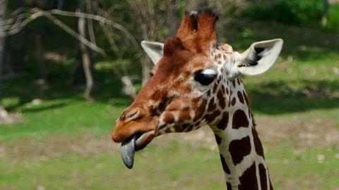 Close-up head profile of giraffe camelopardalis reticulata.Head profile of giraffe camelopardalis reticulata. The giraffe eats her tongue.