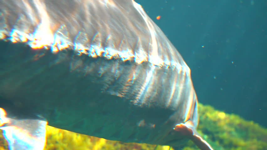 Cinematic Underwater Shot of Atlantic sturgeon (Scientific name: Acipenser oxyrinchus - Phylum: Chordata - Class: Osteichthyes (bony fish) - Order: Acipenseriformes - Family: Acipenseridae) | Shutterstock HD Video #27199165