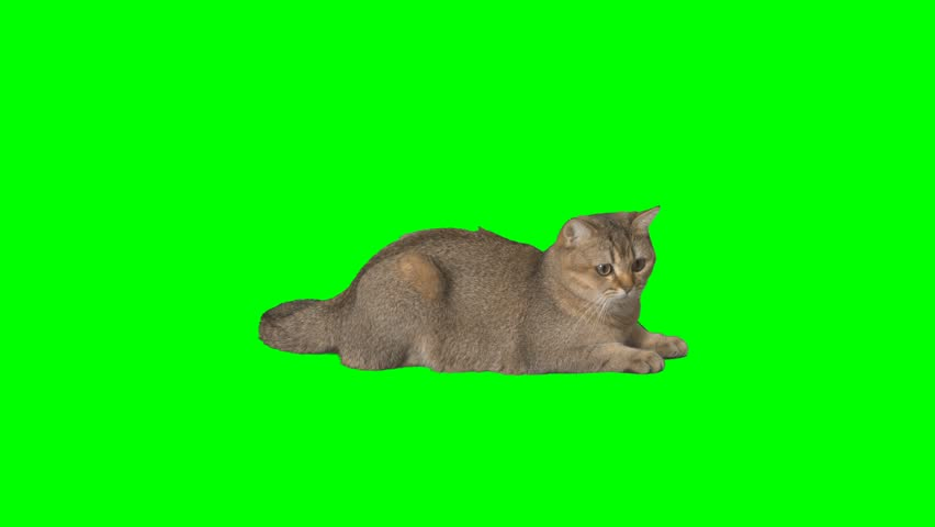 4K Cat Scottish Straight Lying and Looking Around at Green Screen Chroma Key Background Grown Up Cute Cat