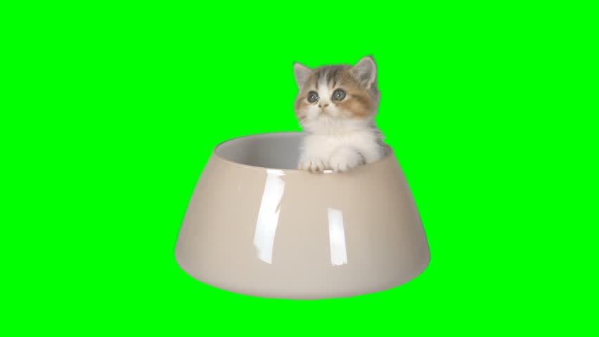 4K Little Kitten in a Glass Bowl Looking Around Cute Cat White and Yellow Colors Small Cutie Green Screen Chroma Key Background in Food Bowl