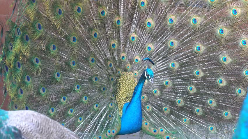 4K video of peacock showing its fan towards female peacock and dancing at Los Angeles | Shutterstock HD Video #27232075