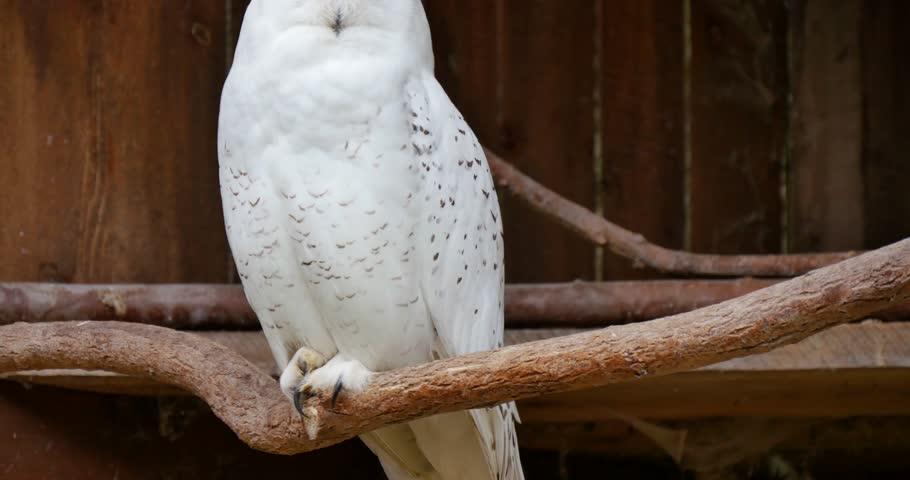 The owl yawn