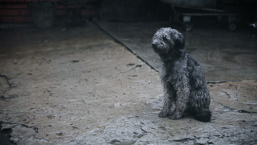 Dog Under Rain Waiting For