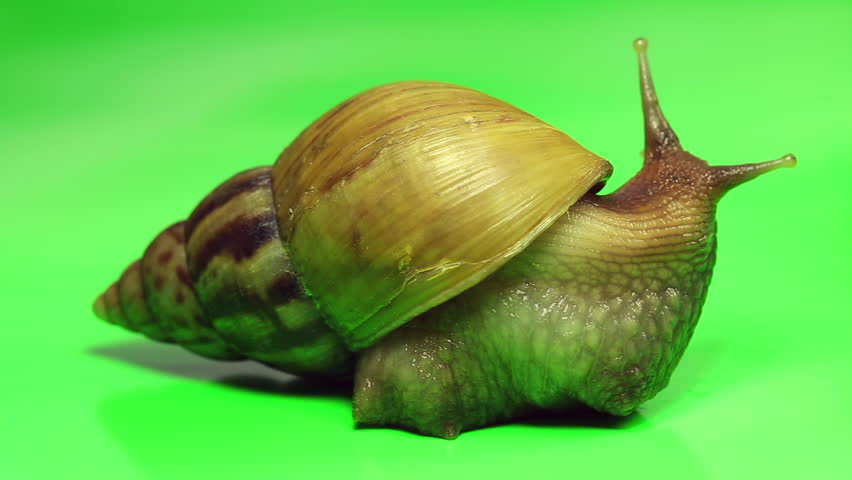 Giant snail moving on green screen. Cosmetic concept. Selective focus.