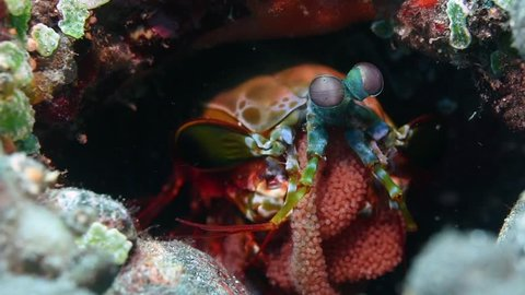 A Peacock mantis shrimp, Odontodactylus scyllarus, with a clutch of pink eggs held protectively against the abdomen, Tulamben, Bali, Indonesia